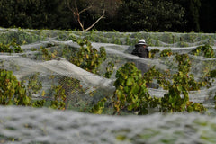 Picker with their back turned from the camera stands amongst rows of vines, working in the sun