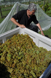 Staindl Wines harvest of white grapes are loaded onto the back of our truck by winemaker Paul Staindl