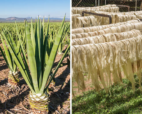 Sisal before and after harvest