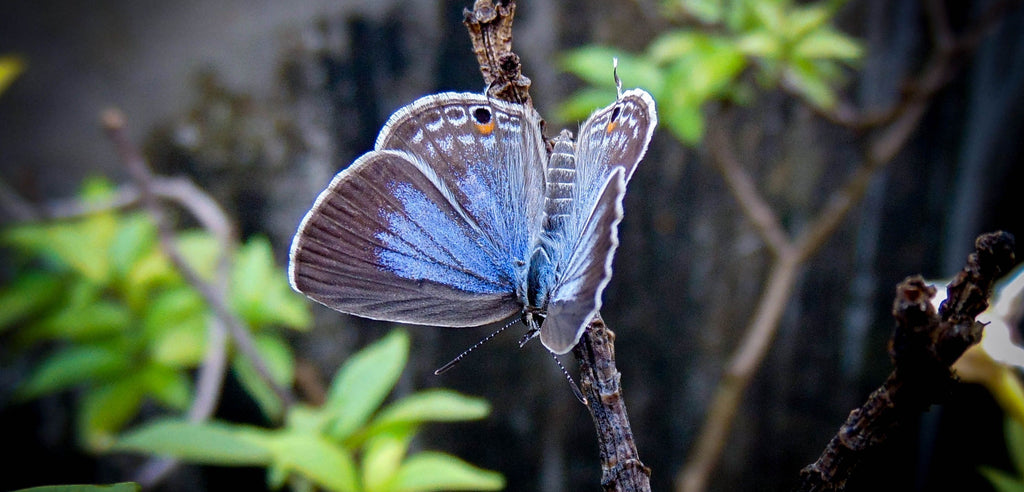 Papillon en voie de disparition: le Bleu de Miami