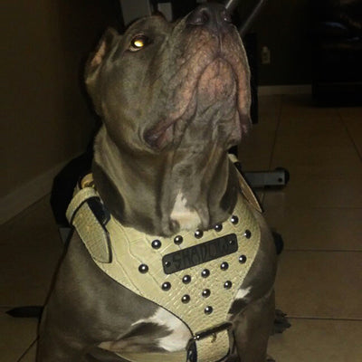 NH3 - Name Plate Studded Leather Harness - 11