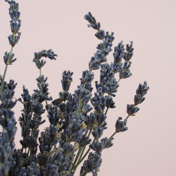 NEW Dried Lavender - Natural Extra Blue