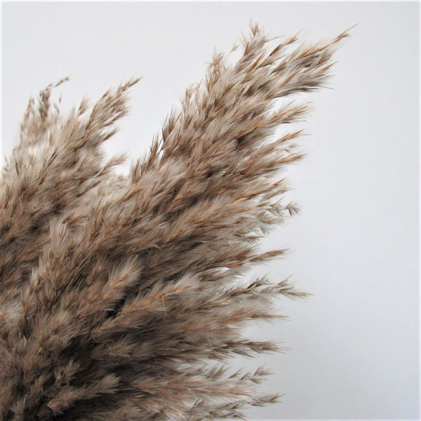 """The Petite"" Fluffy Brown Pampas Grass"