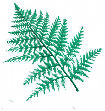 GREEN DISPLAY FERNS(12)