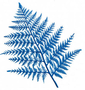 BLUE DISPLAY FERNS(12)