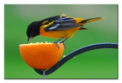 Oriole having a little Lunch