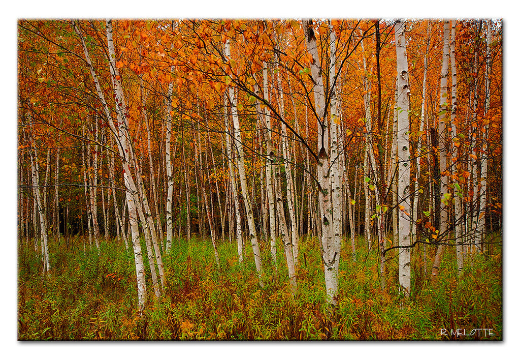 The Birch's of Door County