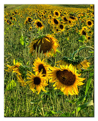 Fields of Sun Flowers