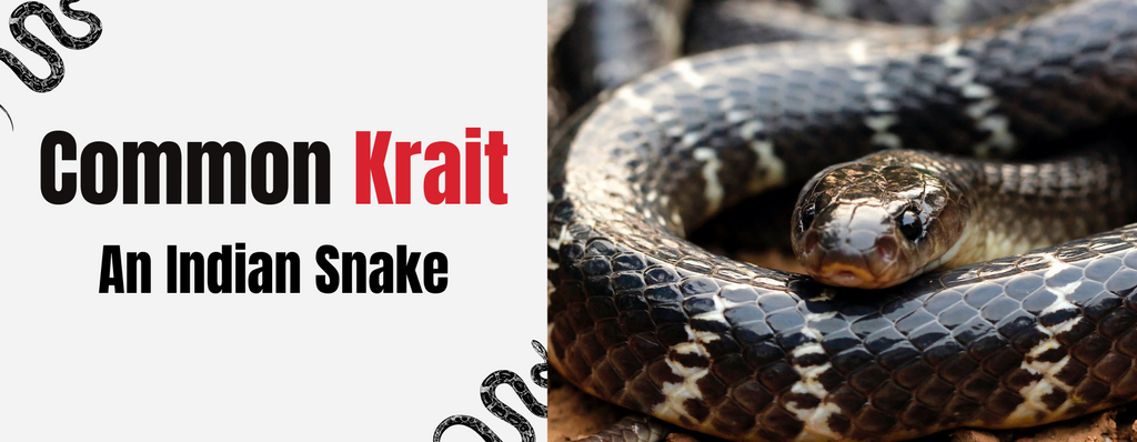Common Krait, The Indian Snake