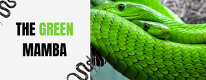 Green Mamba Snake: A poisonous African serpent!