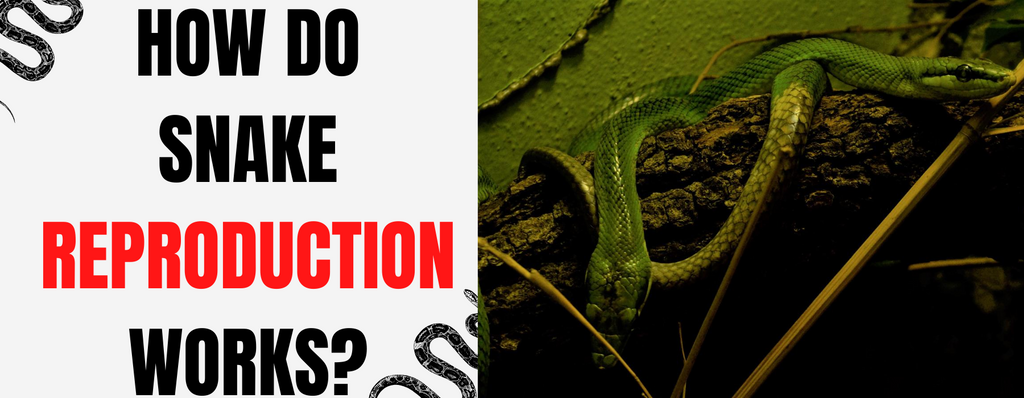 Snake reproduction | How do snakes reproduce?