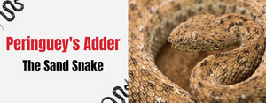 Peringuey's adder : The Sand Snake
