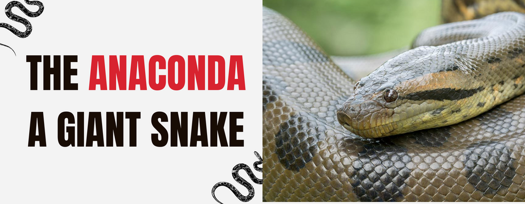 What Is An Anaconda Snake ? All you need to know about this giant serpent...