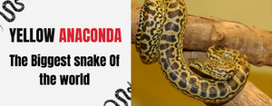 Yellow Anaconda Snake : The heaviest serpent of the world