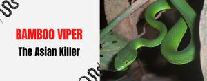 Bamboo Viper The Asian Killer