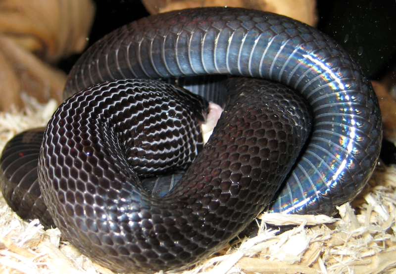 Mexican black kingsnake constriction