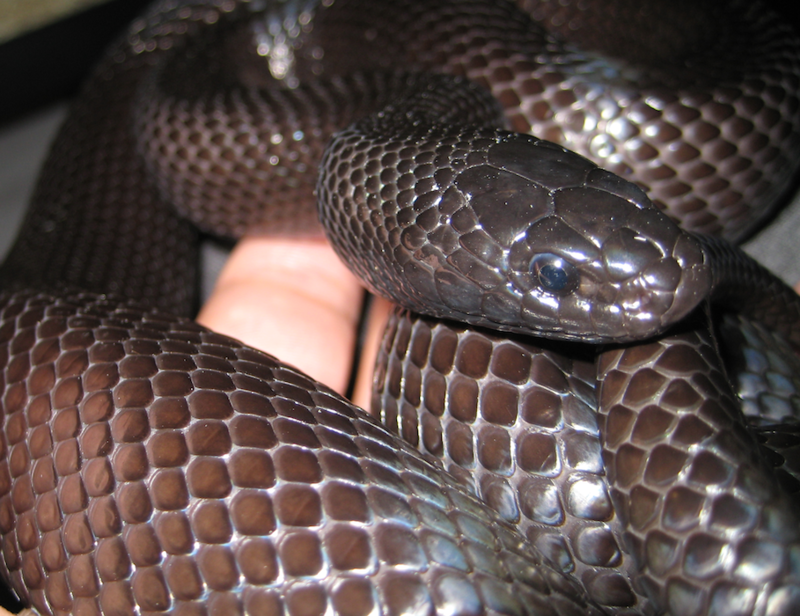 Black Mexican kingsnake constrictor