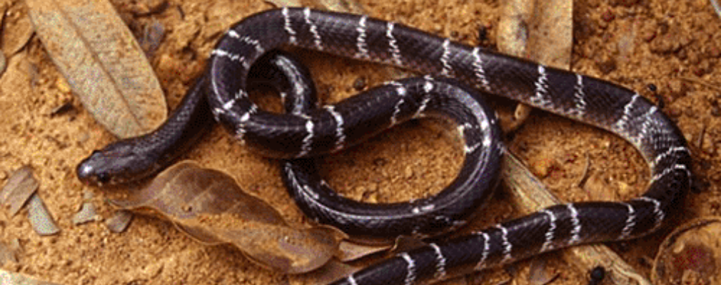 common krait reproduction