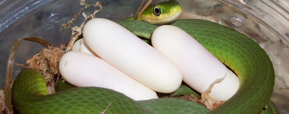 green mamba eggs