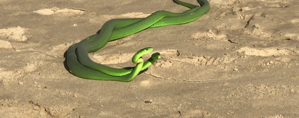 green mamba mating
