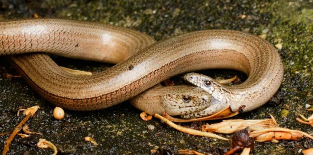 slow worms reproduction