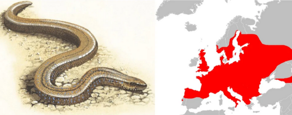 slow worm is europe