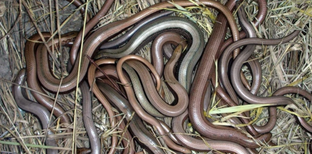 slow worms hibernation in groups