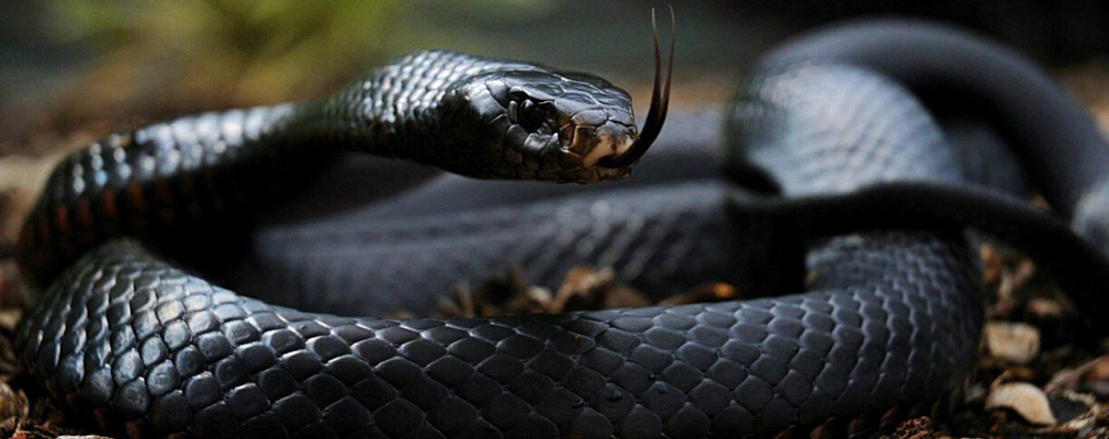 why are snake venomous