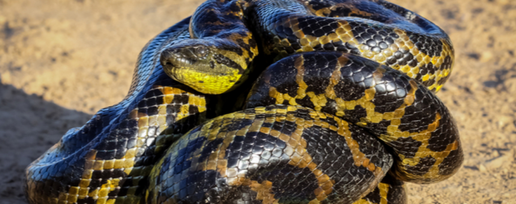 yellow snake reproduction