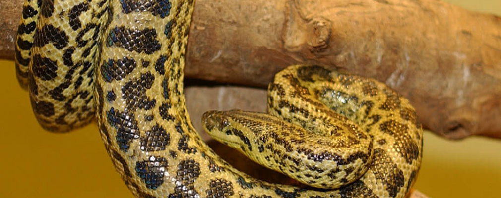 yellow anaconda tree