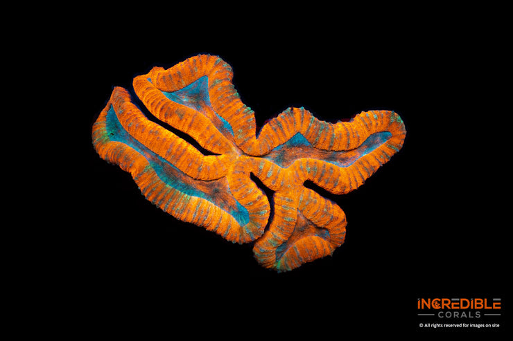 Lobophyllia Orange with Inner Blue and Green Yellow specks 13cm x 9cm