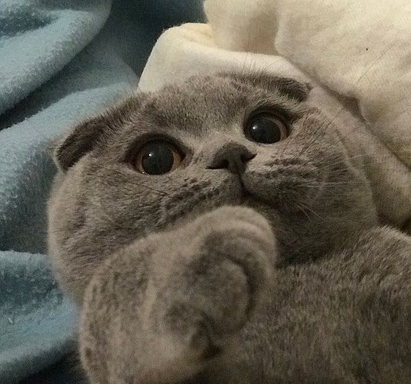 Scottish Fold yeux ronds mignons
