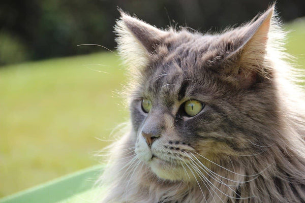 Chat Maine Coon majestueux