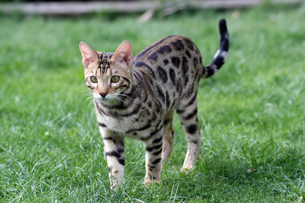 Bengal style exotique