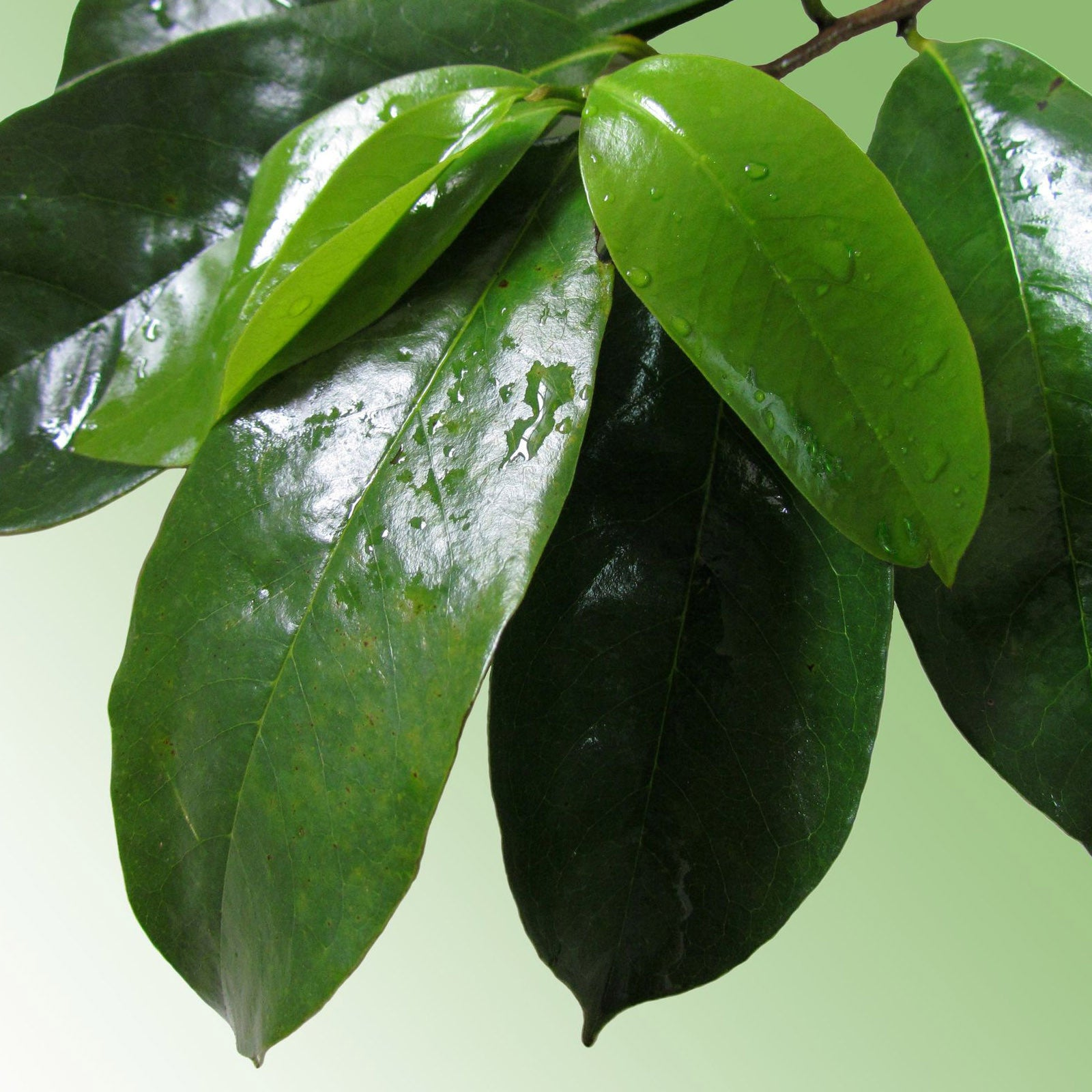 how to eat soursop leaves