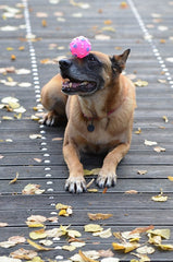 dog with pink ball on nose new trick