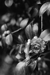 Black and White Camellias