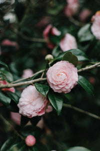 Pink Camellias II