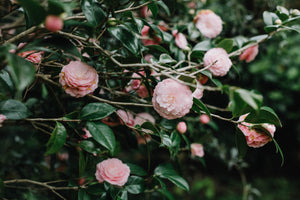 Pink Camellias III