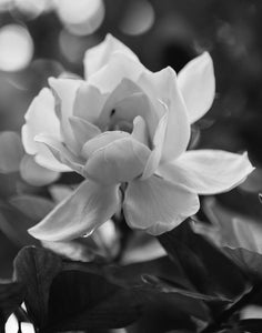 Black and White Gardenia