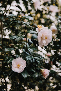 Light Pink Camellias II