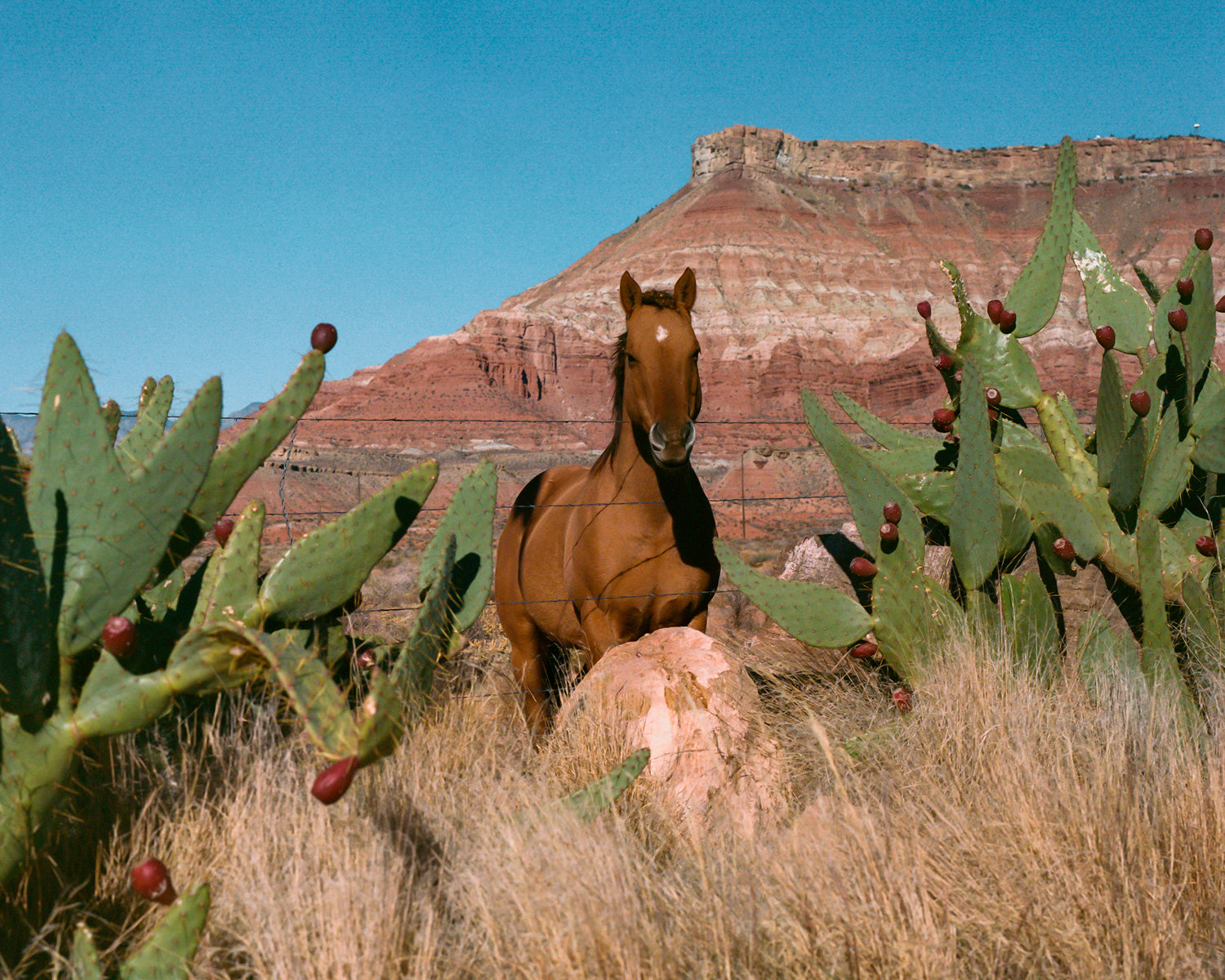 horse standing by cactus in desert