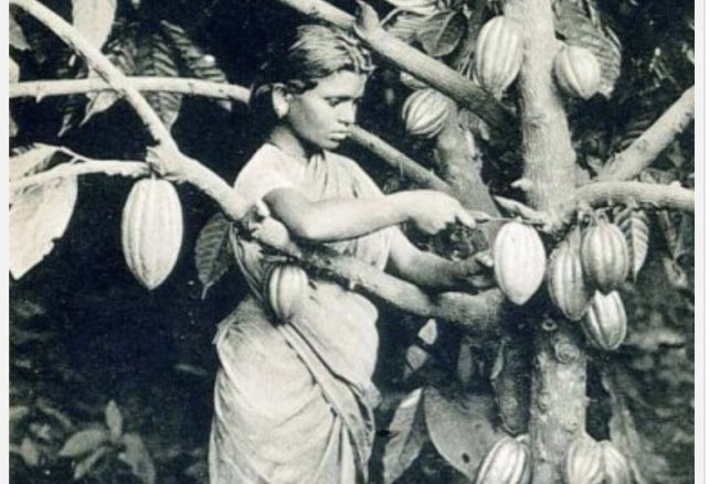 Girl in Ceylon harvesting cacao, 1910