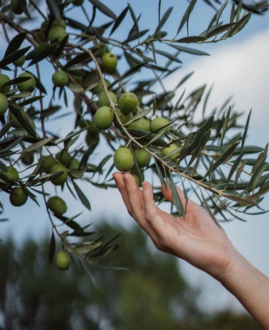 green olives on a olive tree branch with a hand reaching out to hold them