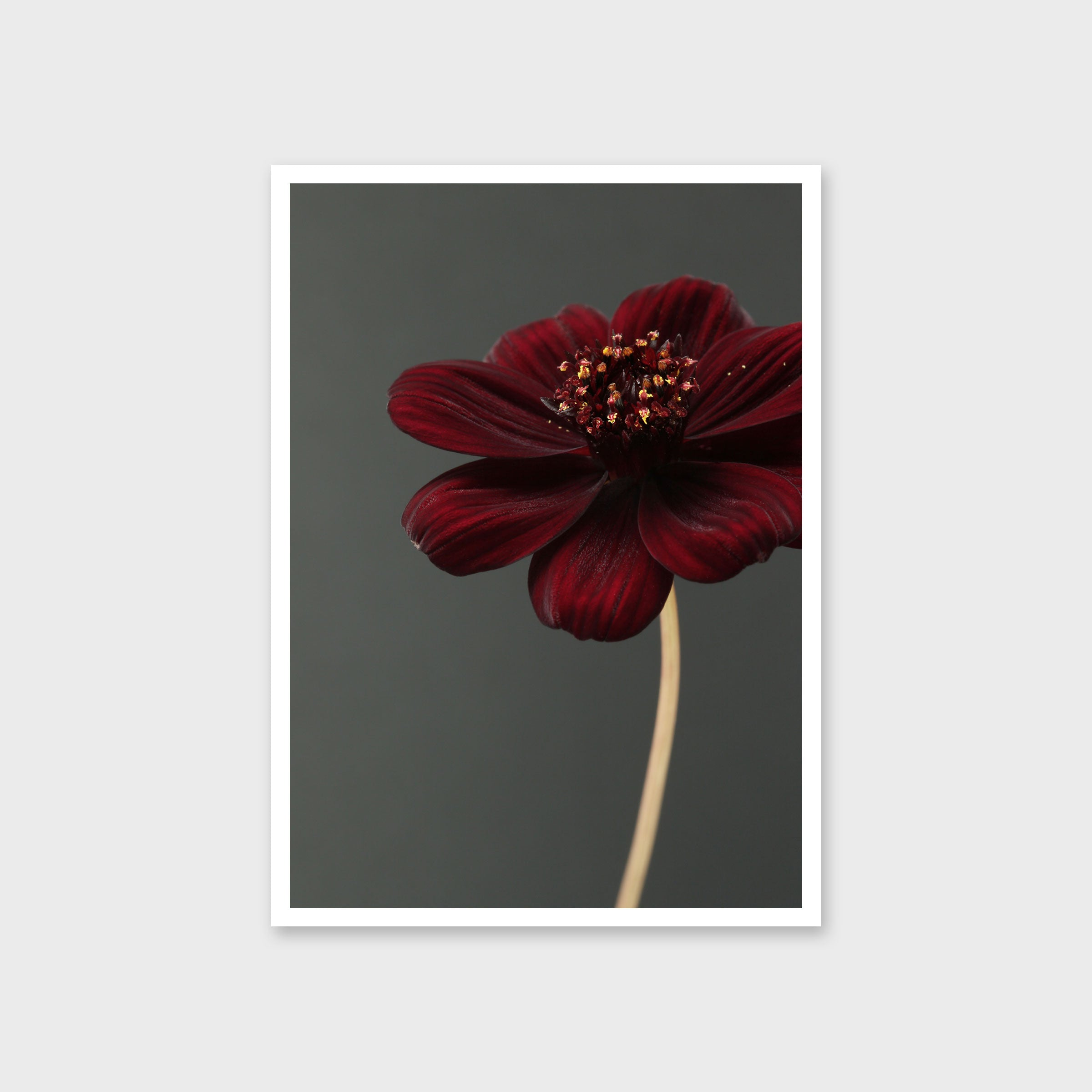Chocolate Cosmos Flower