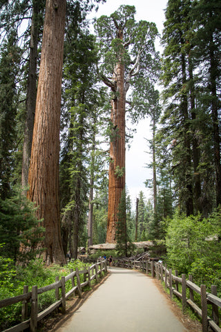 Sequoia Tree - Kings Canyon
