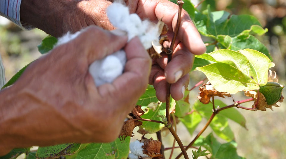 West Indian Sea Island: The World's Rarest Cotton