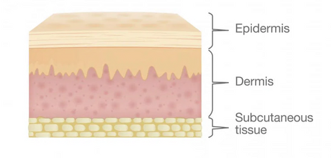 Layers of the Skin from Medical News Today
