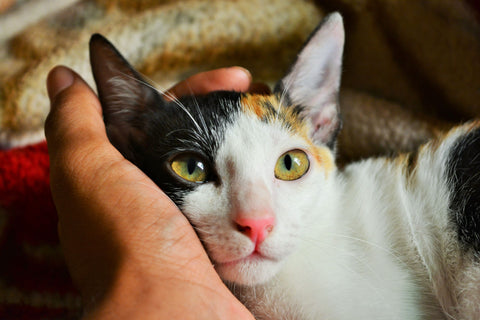 Calico Cat Photo by Amiya Nanda Canva - Ziggy Belle