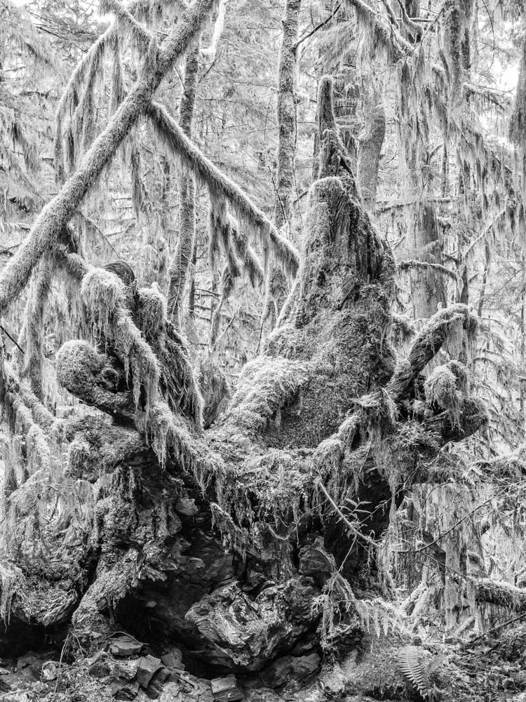 Moss Covered Stump, Cathedral Grove, Vancouver Island 2018